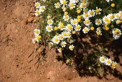 Grupa śliczny rumianku kwiat Fotografia Stock