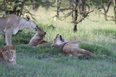Grupa lwicy z lwem fotografia royalty free