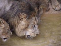 Grupa lwy Zdjęcia Royalty Free