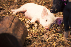 Grupa młode świnie Obraz Royalty Free