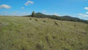 Grupa młody jeleni bieg przez pole zbiory