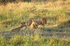 Grupa młody lwów odpoczywać Zdjęcia Stock