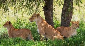 Grupa młodzi lwy kłama pod krzakiem Park Narodowy Kenja Tanzania mara masajów kmieć obraz royalty free