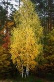 Grupa młode brzozy w jesieni Obraz Royalty Free