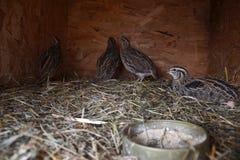 Grupa małe Japońskie przepiórki w drewnianej klatce na tha barnyard Fotografia Royalty Free