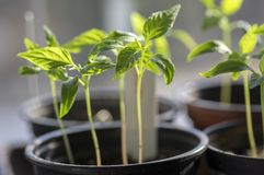 Grupa małe zielone rozsady w jeden garnku, makro- widok, zasadza precultivation, wczesna wiosna w szklarni obraz stock