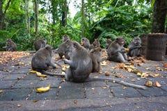Grupa małpy je banana i patatoes przy małpim lasem, Bali, Indonezja obraz stock
