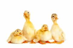 Grupa mały kaczątko Fotografia Royalty Free