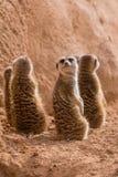 Grupa meerkats siedzieć obrazy stock