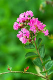 Grupa menchia kwiat Fotografia Stock