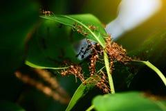 Grupa mrówka kolaboruje budować w górę ich gniazdeczka zdjęcie stock