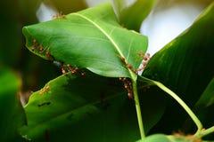 Grupa mrówka kolaboruje budować w górę ich gniazdeczka obraz royalty free