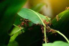 Grupa mrówka kolaboruje budować w górę ich gniazdeczka zdjęcie royalty free