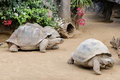 Grupa ogromny Galapagos tortoise outdoors Obraz Stock