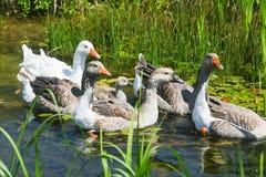 Grupa pływa w bagnie gąski Obrazy Royalty Free