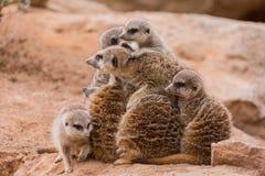 Grupa patrzeje jak ostrosłup meerkats Fotografia Royalty Free