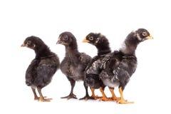 Grupa patrzeje z podejrzeniem czarni kurczaki - odosobnionym fotografia stock