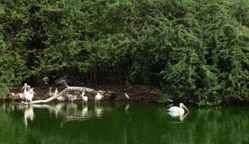 Grupa pelikan w jeziorze zdjęcia stock