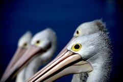 Grupa Pelikana up Zamknięty Obrazy Royalty Free