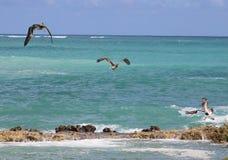 Grupa pelikany lata w Tropikalnym raju Obrazy Stock