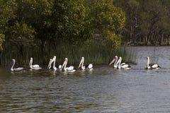 Grupa pelikany na Jeziornym Cootharaba Zdjęcia Royalty Free