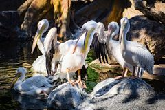Grupa pelikany siedzi wpólnie w cieniu fotografia royalty free
