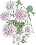 Grupa peonia kwiatów nakreślenie odizolowywający na bielu Fotografia Royalty Free