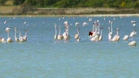 Grupa piękni flamingów ptaki z odbiciami, chodzi przy słonym jeziorem Larnaka w Cypr zbiory wideo