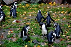 Grupa pingwiny zbiera wpólnie zdjęcie royalty free
