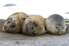 Grupa południowe słoń foki odpoczywa na skale Obraz Stock