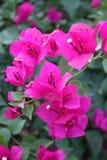 Grupa pojedynczy kwiatu bougainvillea kwiat obrazy stock