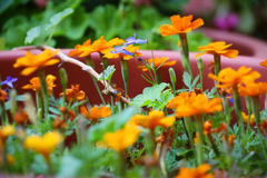 Grupa pomarańczowi kwiaty z zielonym trzonem w ogródzie Zdjęcie Royalty Free