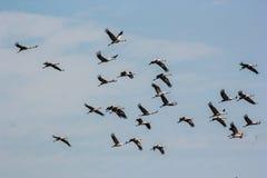 Grupa pospolitego żurawia niebieskiego nieba grus latający grus Obraz Royalty Free