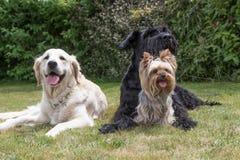 Grupa psy kłama na gazonie Fotografia Stock