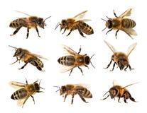 Grupa pszczoła lub honeybee, Apis Mellifera obrazy royalty free