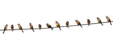 Grupa ptaki na linii energetycznej odizolowywającej na białym tle Zdjęcia Stock