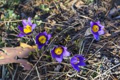 grupa purpurowa śnieżyczka pierwiosnków trawa Obrazy Stock