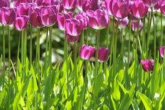 Grupa purpurowi tulipany w rzędzie Obraz Stock