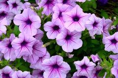 Grupa purpurowy petunia kwiat Zdjęcie Royalty Free