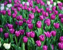 Grupa purpurowych tulipanów ogrodowy tło Zdjęcia Royalty Free