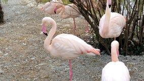 Grupa Różowi flamingi zdjęcie stock