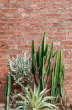 Grupa różnorodny kaktus, agawa z ostrym kolcem i stary czerwony bric, Fotografia Stock