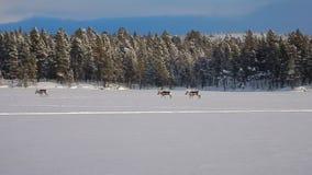Grupa renifery biega na zamarzniętym jeziorze zdjęcie wideo