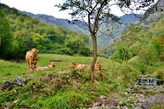 Grupa reposing krowy przy halnym paśnikiem w letnim dniu brąz fotografia stock