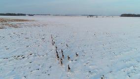 Grupa roe rogacz w zim polach zbiory