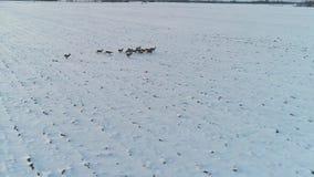 Grupa roe rogacz w zim polach zdjęcie wideo