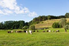 Grupa rolne krowy pasa na łące zdjęcie stock