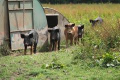 Grupa Rolne świnie Fotografia Stock