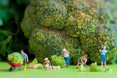 Grupa rolnicy zbiera gigantycznego kalafioru Obraz Stock