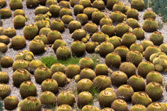 Grupa round kaktusy Fotografia Royalty Free